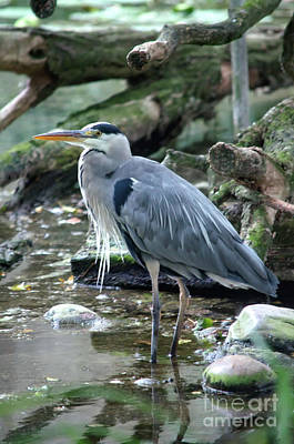 Photograph - Standing Grey Heron by Michelle Meenawong