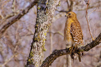Red Shouldered Hawk Photograph - Standing Guard by Linda Unger