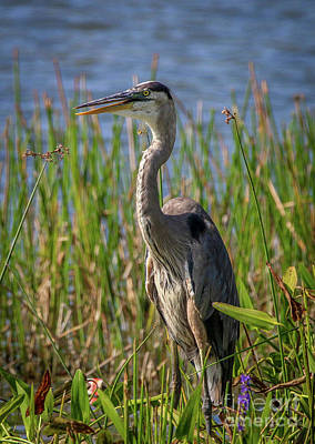 Photograph - Standing Heron by Tom Claud