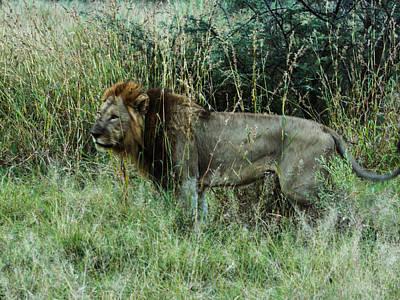 Photograph - Standing Lion by Karen Zuk Rosenblatt