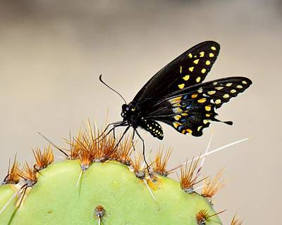 Photograph - Standing On Spines - Black Swallowtail by KJ Swan