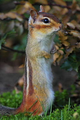Eastern Chipmunk Photograph - Standing Tall - Eastern Chipmunk by Bruce J Robinson