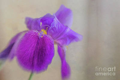 Nikki Vig Royalty-Free and Rights-Managed Images - Standing Tall and Proud Purple Iris by Nikki Vig