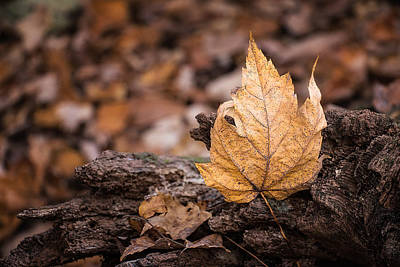 Maple Leaf Art Photograph - Standing Tall by Tom Mc Nemar