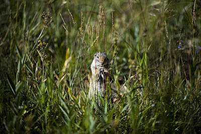 Photograph - Standing Uinta Ground Squirrel by Josh Bryant