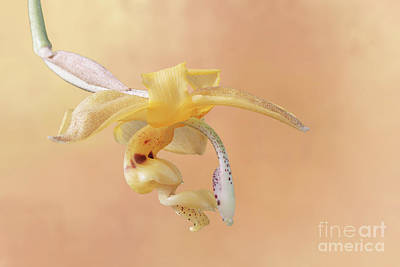 Photograph - Stanhopea Orchid V2 by Judy Whitton