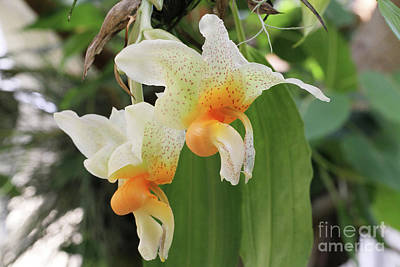 Photograph - Stanhopea Saccata Orchid by Judy Whitton