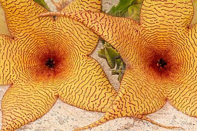 Photograph - Star Cactus Flower by Deborah Benoit