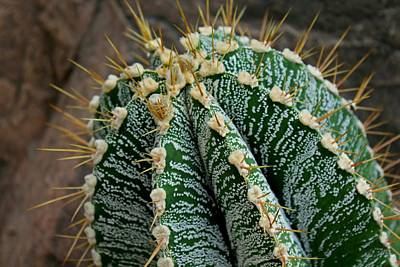Photograph - Star Cactus by Michiale Schneider