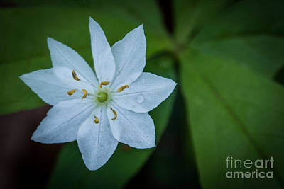 Photograph - Star .flower by Grace Grogan