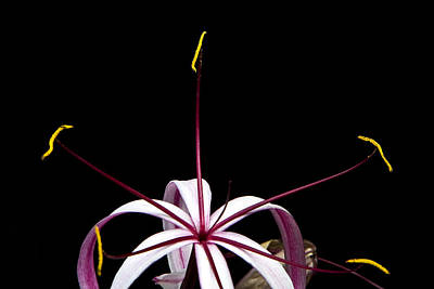 Photograph - Star Flower by Ken Barrett