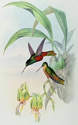 Animals In Wild Drawing - Star Fronted Hummingbird by John Gould