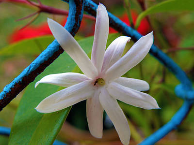 Photograph - Star Jasmine Flower by Rose  Hill