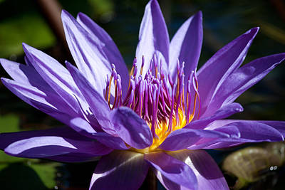 Star Lotus Soaks Up The Sun Art Print by J Mattson