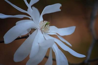 Photograph - Star Magnolia 15-01 by Maria Urso