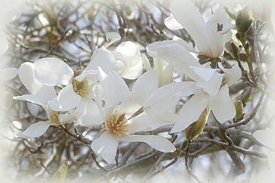 Indiana Trees Photograph - Star Magnolia Blossoms by Sandy Keeton