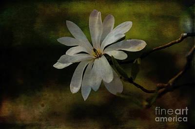Photograph - Star Magnolia  by Debra Fedchin