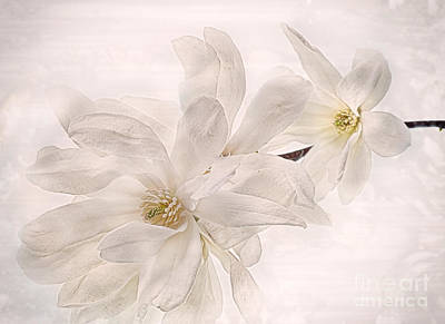 Photograph - Star Magnolia In My Garden by Ann Jacobson