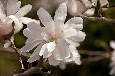 Star Magnolia Painting Print by Don  Wright