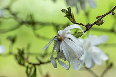 Photograph - Star Magnolia Soaked by Belinda Greb