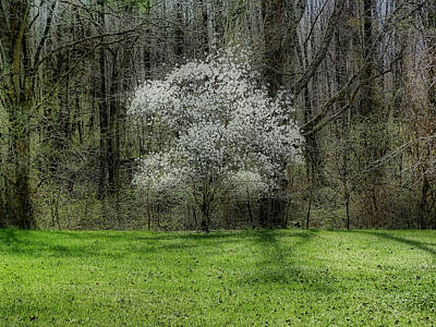 Photograph - Star Magnolia Tree by Sandy Keeton