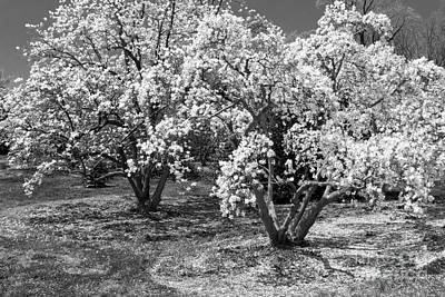 Photograph - Star Magnolia Trees by Chris Scroggins