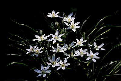 Photograph - Star Of Bethlehem by Living Color Photography Lorraine Lynch