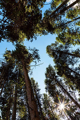 Photograph - Star Of The Pine Tree Forest by James BO Insogna