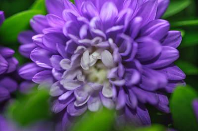 Star Shaped Purple Aster Art Print