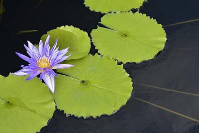 Photograph - Starburst Waterlily by Tana Reiff