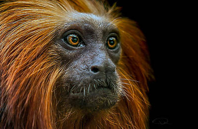 Primate Photograph - Stare Down by Paul Neville