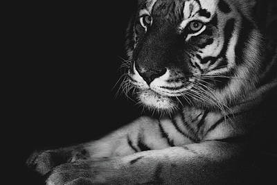 Tiger Hunt Photograph - Stare by Martin Newman