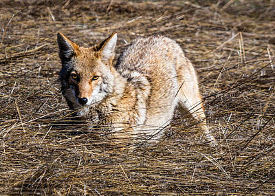 Photograph - Stare Of The Coyote by Dawn Key