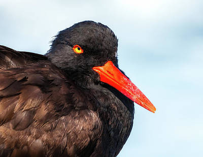 Photograph - Stare Of The Oystercatcher by Jonathan Nguyen