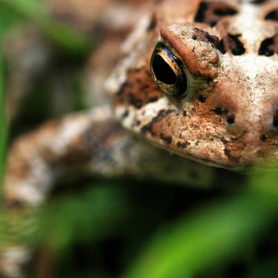 Photograph - Staredown With A Toad by Angela Rath