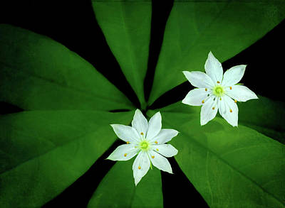Photograph - Starflowers by Carolyn Derstine