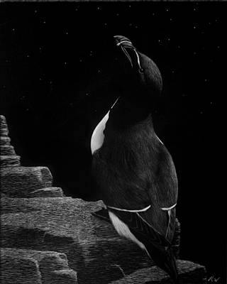 Razorbill Drawing - Stargazer by Heather Ward
