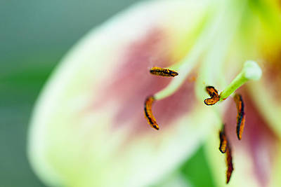 Photograph - Stargazer Lily by Marlo Horne