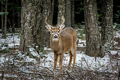 Photograph - Staring Buck by Lester Plank