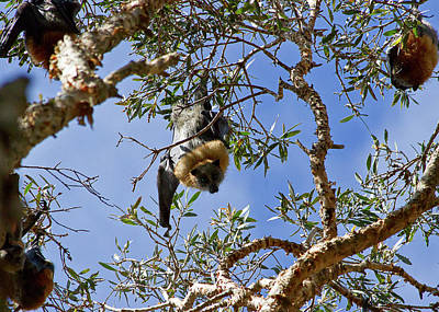 Photograph - Staring Competition With Grey-headed Flying-fox  by Miroslava Jurcik