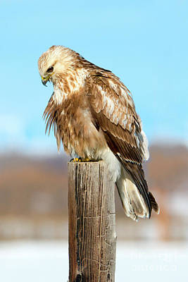 Hawk Photograph - Staring Down by Mike Dawson