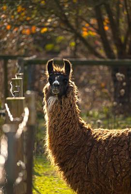 Staring Llama Art Print