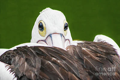 Digital Art - Staring Pelican by Ray Shiu