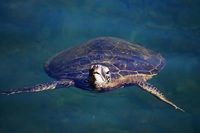 Photograph - Staring Turtle by Pamela Walton