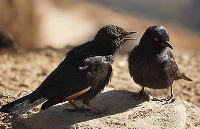 Photograph - Starling Discussion. by Katie McConnachie