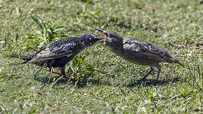 Photograph - Starling Feeding Her Chick by William Bitman