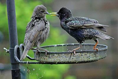 Photograph - Starling Feeding Juvenile by Tony Murtagh