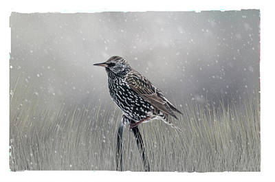 Starling In Winter Art Print
