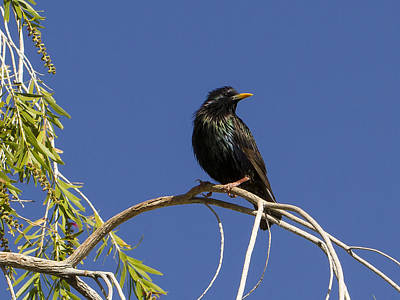 Photograph - Starling by Jean Noren