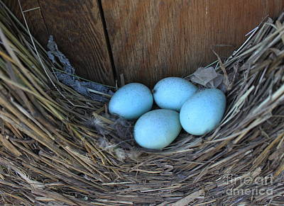 Photograph - Starling Nest by Erica Hanel